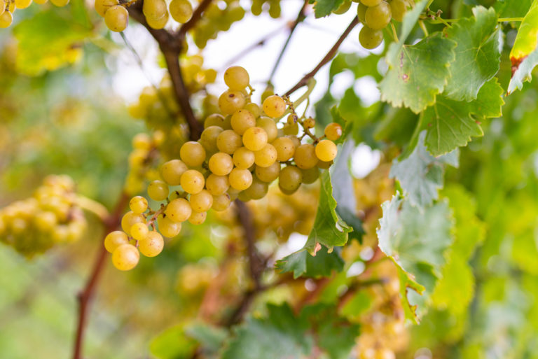 Riesling: The Beginners Guide (2021)