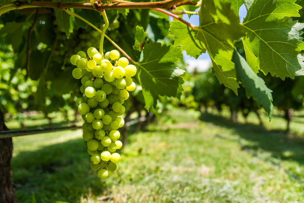 White grapes on a vine in a vineyard in Mendoza on a sunny day.