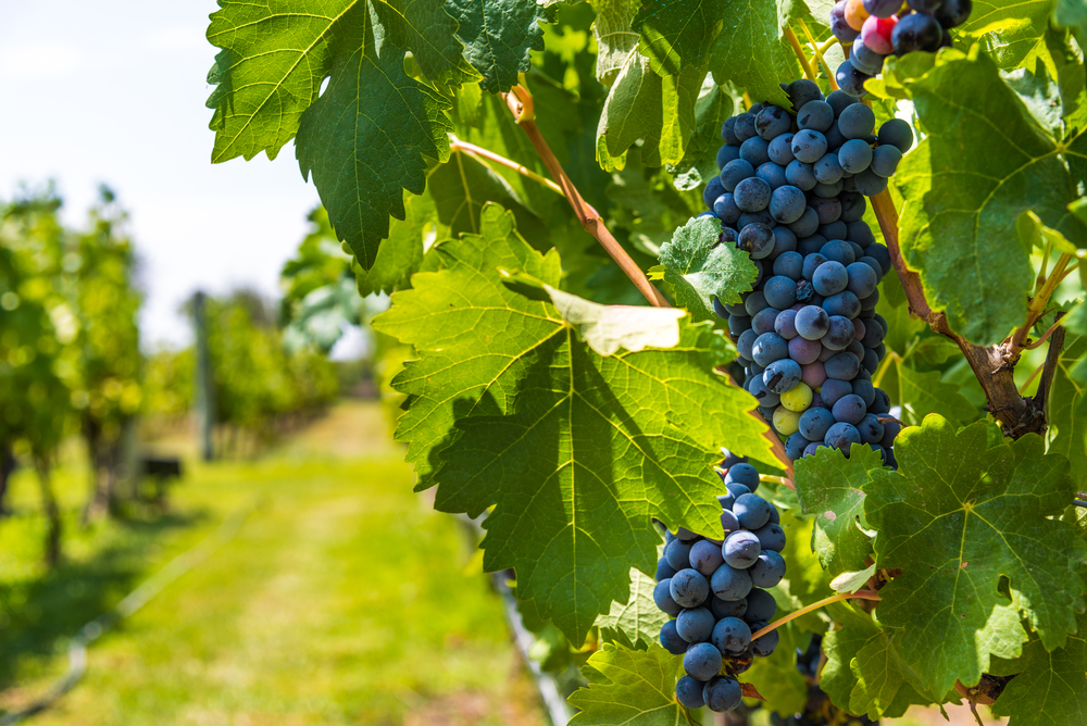 Red wine grapes on a vine in a vineyard in Mendoza on a sunny day,