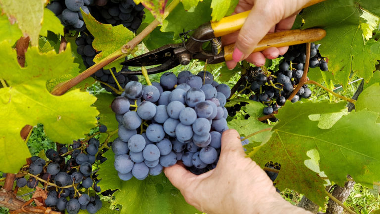 Pinotage: The Beginners Guide (2021)